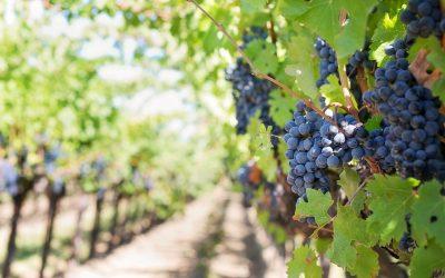 La uva tempranillo. Variedad con identidad propia